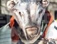 Bullhead - Copia